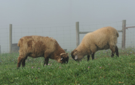 hog island sheep rising phoenix farm